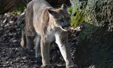 Puma, ilustrační foto. (čtk)