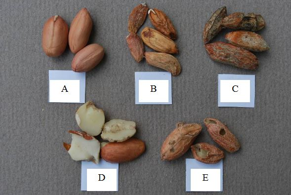 Zdravá a napadená arašídová jádra – ilustrační foto (www.acfs.go.th)