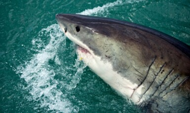 Žralok bílý se stal kvůli filmu Čelisti postrachem. (pixabay.com)