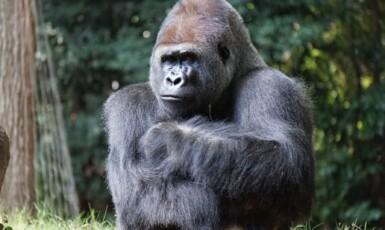 Gorila nížinná (pexels.com)