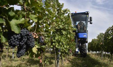 Sklizeň hroznů speciálním kombajnem ve vinicích Chateau Bzenec na Hodonínsku  (ČTK/Šálek Václav)